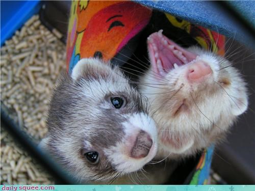 ferret mommys-little-monster pet poking reader squee