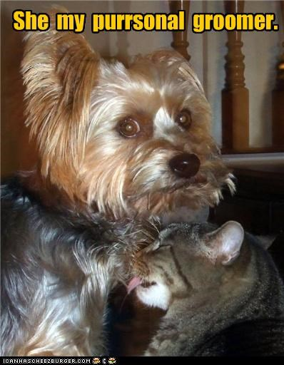 cat,groomer,grooming,licking,personal,pun,yorkshire terrier