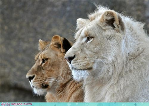 cute,Father,lion,mother
