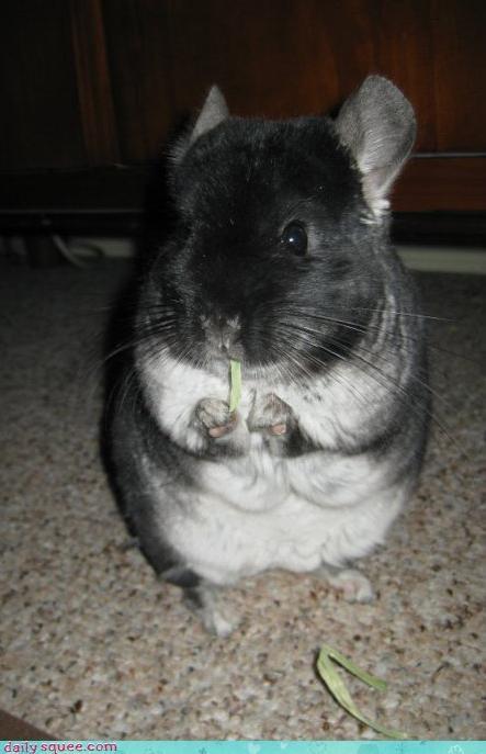 chinchilla pet pets user user pets - 4235839744