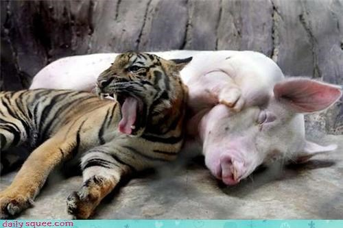 baby,friends,hog,pig,tiger