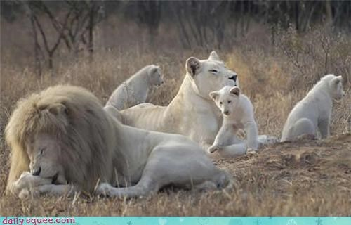 albino cute facts lion trivia - 4236323072