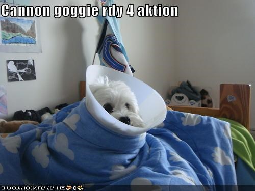action,armed,bichon frise,blanket,cannon,cone of shame,dangerous,loaded,puppy,ready,wrapped up
