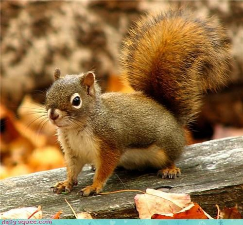cute munchkin squirrel tiny - 4236726272
