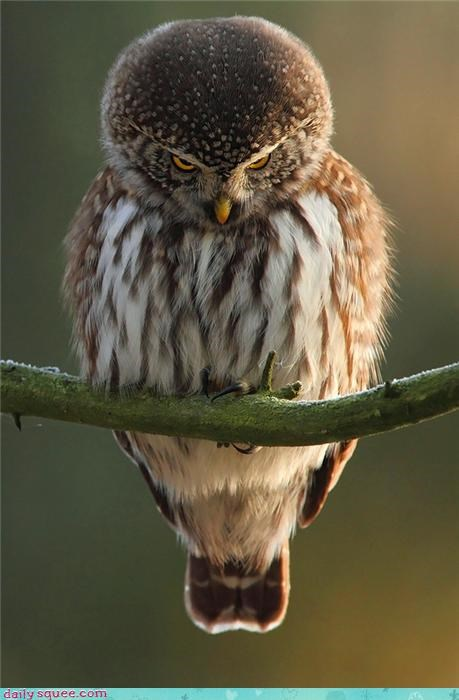 bird floof Owl - 4237430016