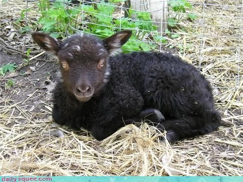baby cute lamb mutton sheep - 4237907200