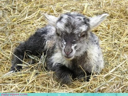 baby cute lamb squee spree user pet vote - 4237909760