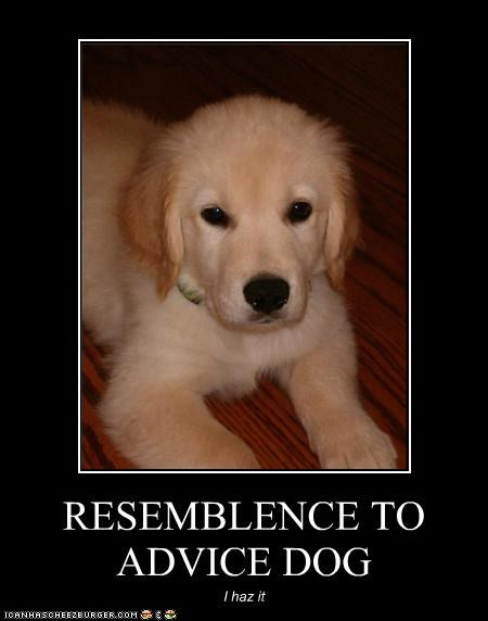 advice dog,i has,labrador,puppy,resemblance