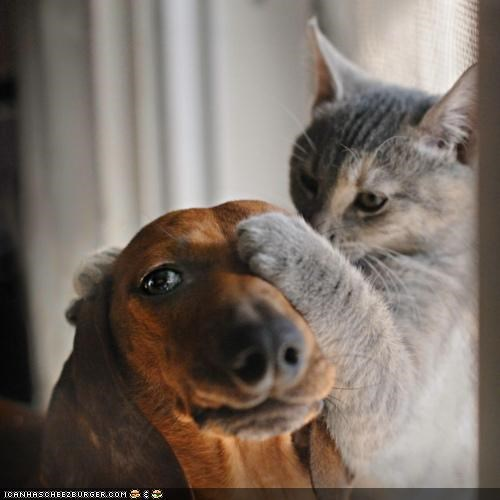 cat,covering,cute,dachshund,eye test,friendship,kittehs r owr friends,line,paw,three,try