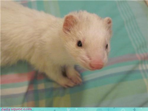 cute ferret squee spree woozle - 4239369472