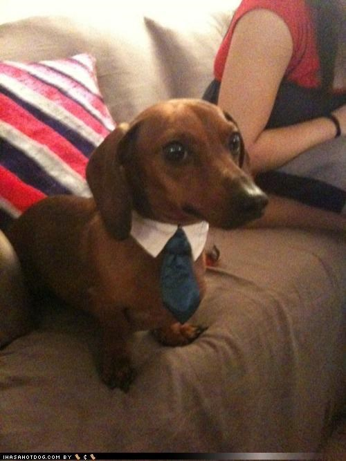 adorable businessman collar cute dachshund daww dawwww suit themed goggie week tie - 4239578624
