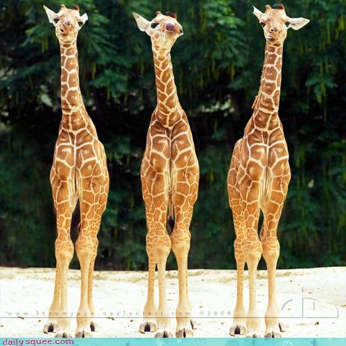 acting like animals cute FAIL full house gambling giraffes knees knock-knees nervous poker poker face siblings standing three of a kind triplets - 4240319232