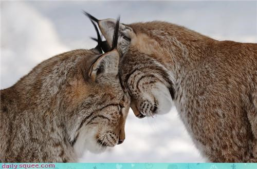 headbutting cuddles love lynx squee - 4240994304