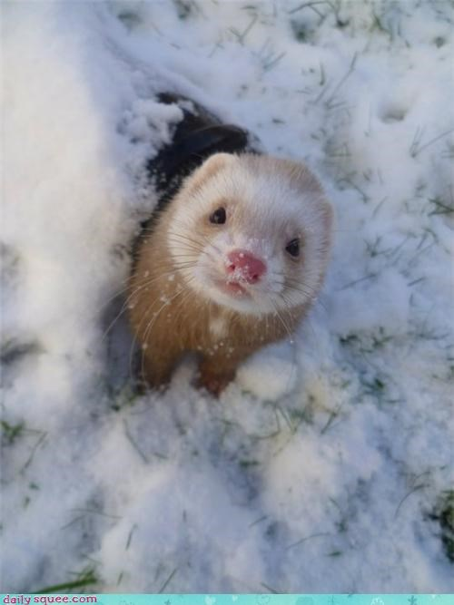 ferret,snow day,snow,winter,squee