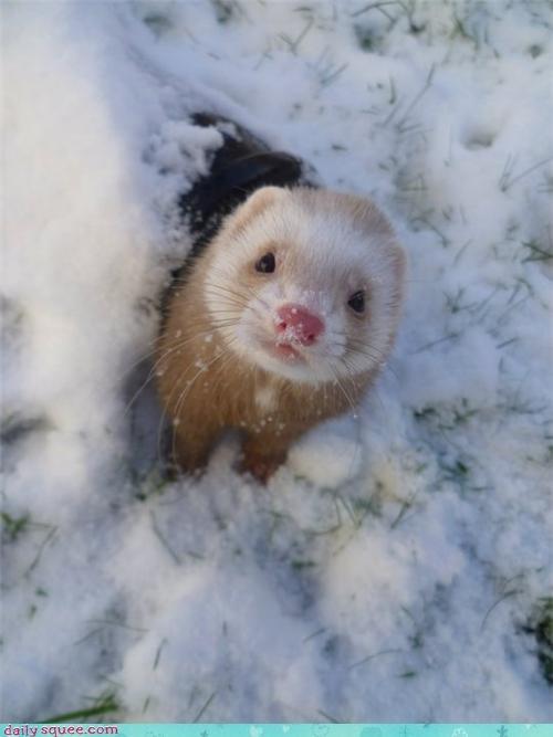 ferret snow winter squee - 4242781952