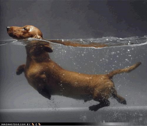 cute dachshund hotdog rationale sea swimming themed goggie week - 4242992384