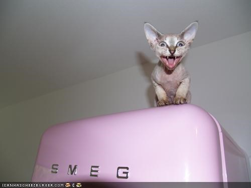 cyoot kitteh of teh day,fridge,hairless,hungry,meowing,scary,yelling