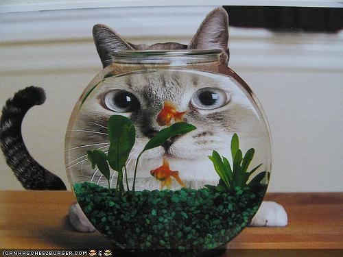 big face,cyoot kitteh of teh day,distorted,fish,Fishbowl,hungry
