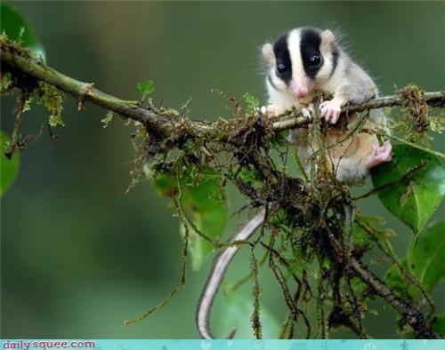 cute new species opossum rodent - 4245668352