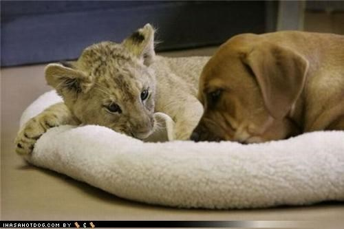 cub cuddling cute fighting friends friendship interspecies noms playing puppy sweet tiger whatbreed wrestling - 4246204672