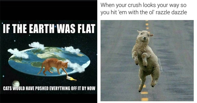 Funny animal memes, dogs, cats, birds, lizards, newts, sheep.