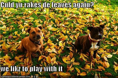 autumn fun leaves mixed breed pit bull pitbull play playing raking leaves - 4247098112