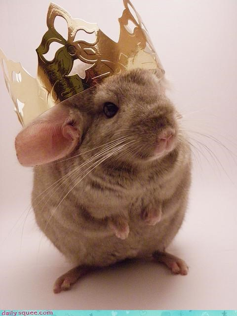 baby,chinchilla,cute,king,sweet