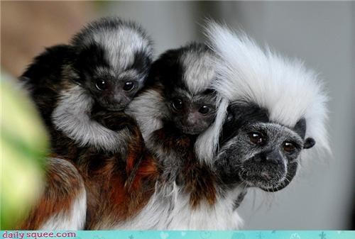 Babies piggyback mommy tamarin monkey mohawk - 4248249344