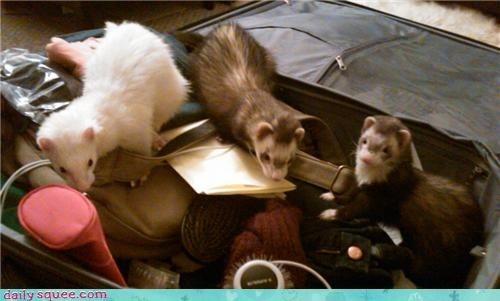 cute,ferret,squee spree,woozle