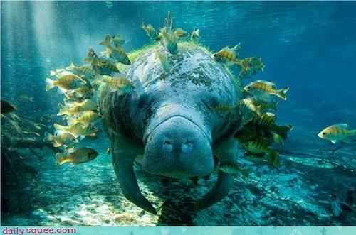 Ad,cute,fat,mantatee,Om Nom Monday,Sad,Sea Cow