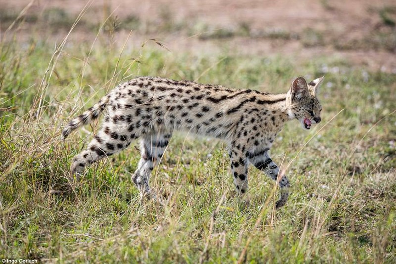 a story of a serval cat being spotted in tall grasses of africa