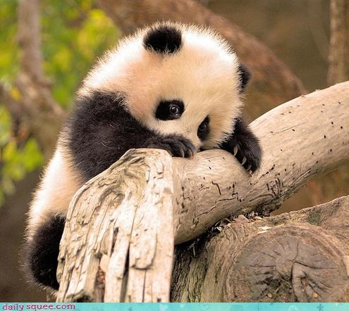 baby,climbing,Fluffy,mother nature,panda,panda cub,squee
