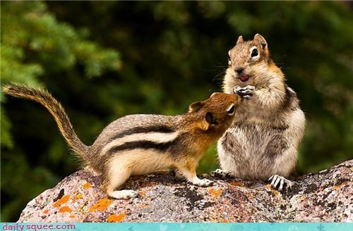 sharing,chipmunk,food,noms,squee