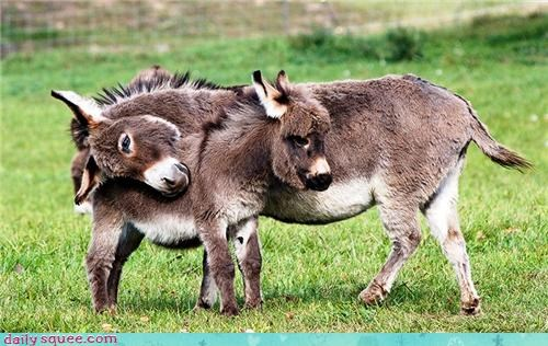 donkeys,floofy,hooves,hug,love,mule,splort,squee