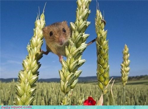 climbing wheat squee field mouse - 4254386432