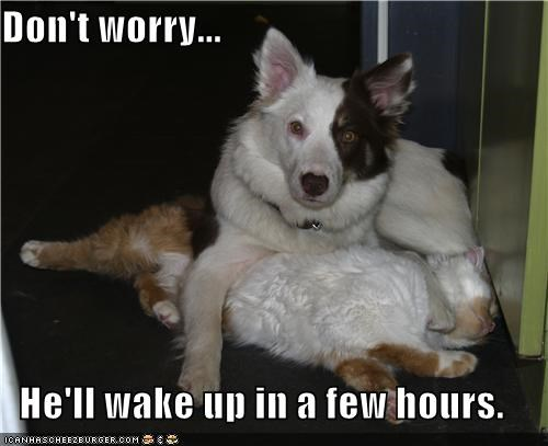 border collie mixed breed,cat,its ok,no worries,wake up