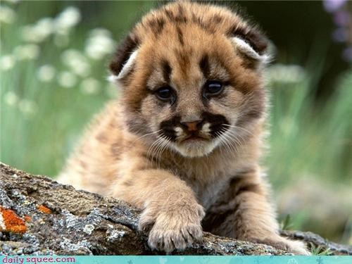 mountain lion,cougar,panther,cub,squee