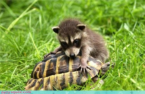 baby,rock,raccoon,tortoise,moving,squee