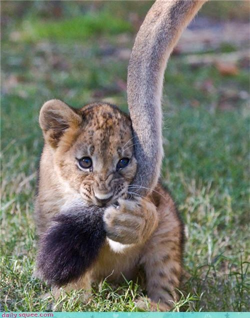 big cat floof lion lion cub pacifier squee tail - 4254474752