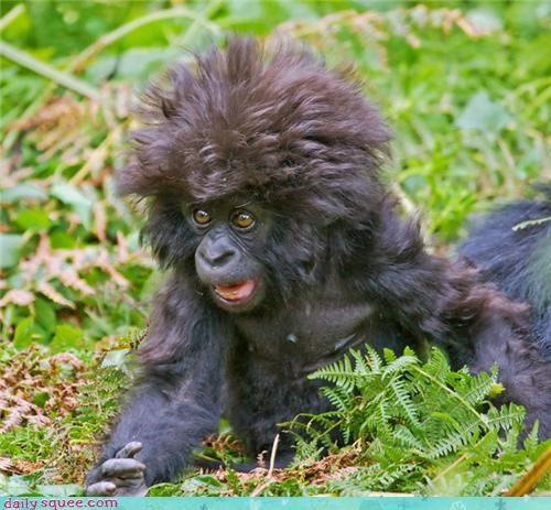 afro,ape,baby,bed head,floofy,gorilla,squee