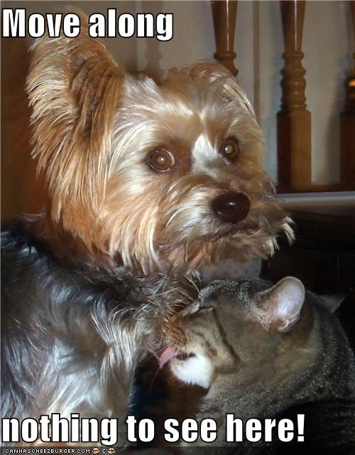 cat,friends,friendship,groom,grooming,lick,licking,love,move along,nothing to see here,silky terrier