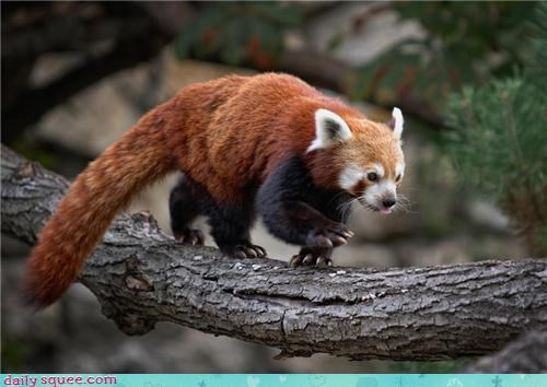 claws climbing red panda squee spree tree