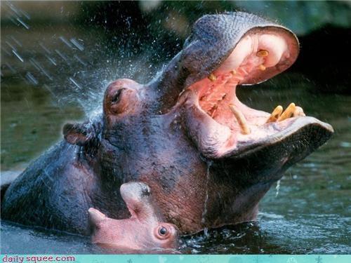 splashing baby mommy squee hippo hippopotamus - 4255957248