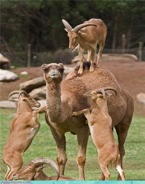 camel climbing goats mountain goats squee - 4255973632