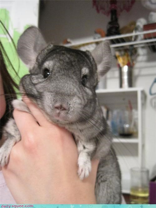 chinchilla Fluffy painbrushes pet reader squee - 4256699136