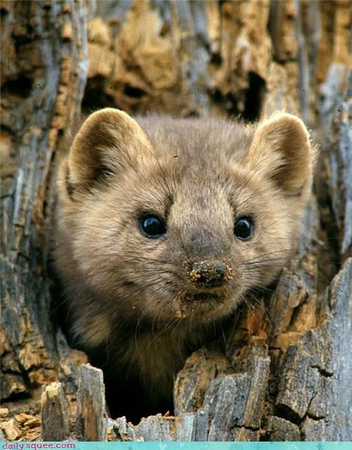 squee hiding whiskers nose tree trunk pine marten