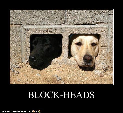 block heads,labrador,labrador retriever,pun