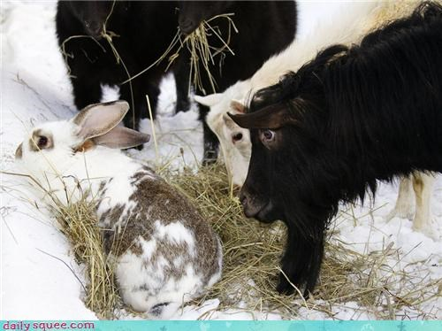 bunny food goats hay noms sharing snack - 4258909184