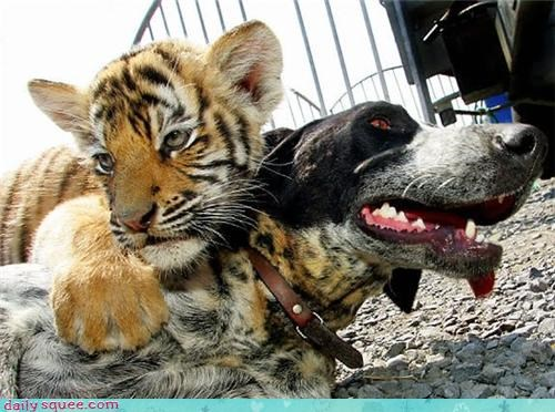 cub cuddles dogs friends Interspecies Love tiger