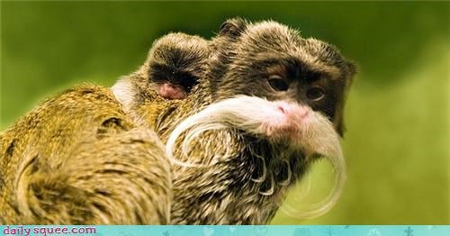 baby dad emperor tamarin kingdom mom monkey mustache